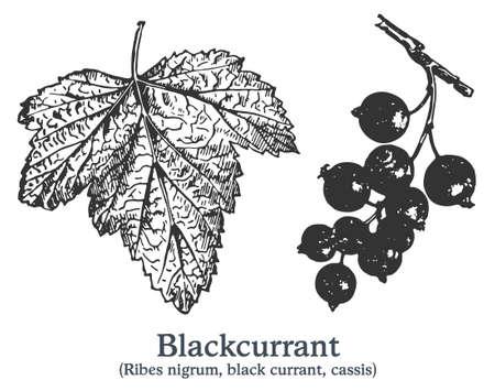 Blackcurrant. Vector hand drawn plant. Vintage medicinal plant sketch.