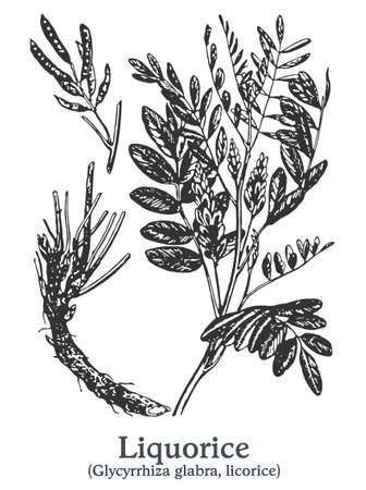 Liquorice. Vector hand drawn plant. Vintage medicinal plant sketch. 矢量图像
