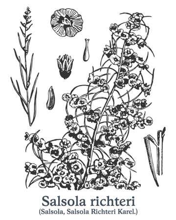 Salsola richteri. Vector hand drawn plant. Vintage medicinal plant sketch.