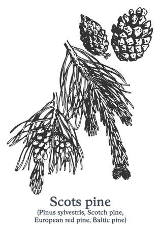 Scots pine. Vector hand drawn plant. Vintage medicinal plant sketch.