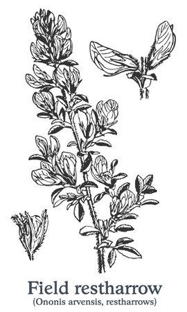 Field restharrow. Vector hand drawn plant. Vintage medicinal plant sketch. Ilustrace