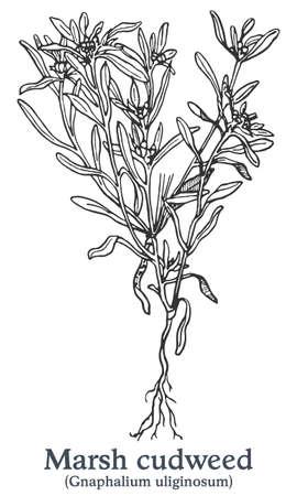 Marsh cudweed. Vector hand drawn plant. Vintage medicinal plant sketch.