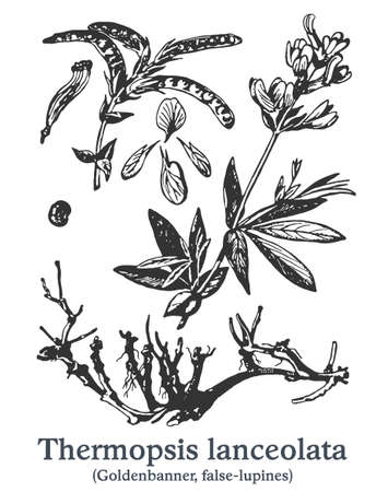 Thermopsis lanceolata. Vector hand drawn plant. Vintage medicinal plant sketch. Ilustrace