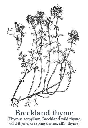 Breckland thyme. Vector hand drawn plant. Vintage medicinal plant sketch.