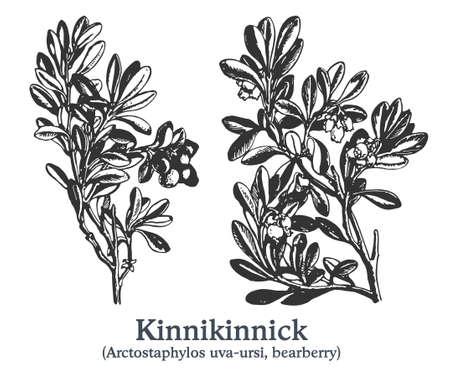 Kinnikinnick. Vector hand drawn plant. Vintage medicinal plant sketch. 矢量图像