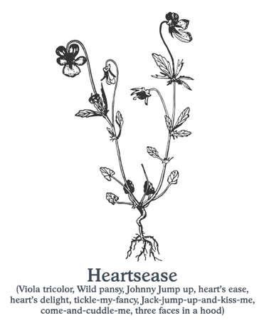 Heartsease. Vector hand drawn plant. Vintage medicinal plant sketch.