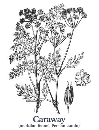 Caraway. Vector hand drawn plant. Vintage medicinal plant sketch. 矢量图像