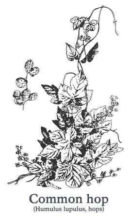 Common hop. Vector hand drawn plant. Vintage medicinal plant sketch.