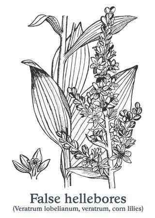 False hellebores. Vector hand drawn plant. Vintage medicinal plant sketch.