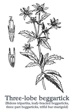 Three-lobe beggartick. Vector hand drawn plant. Vintage medicinal plant sketch.