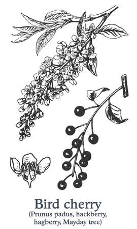 Bird cherry. Vector hand drawn plant. Vintage medicinal plant sketch.