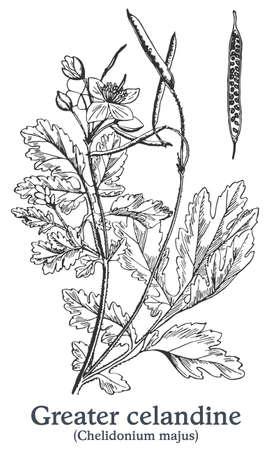 Greater celandine. Vector hand drawn plant. Vintage medicinal plant sketch.