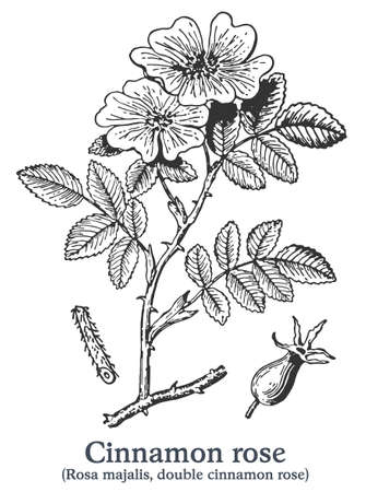 Cinnamon rose. Vector hand drawn plant. Vintage medicinal plant sketch.