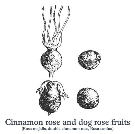 Cinnamon rose and dog rose fruits. Vector hand drawn vintage plant sketch.