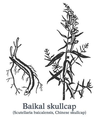 Baikal skullcap. Vector hand drawn plant. Vintage medicinal plant sketch.