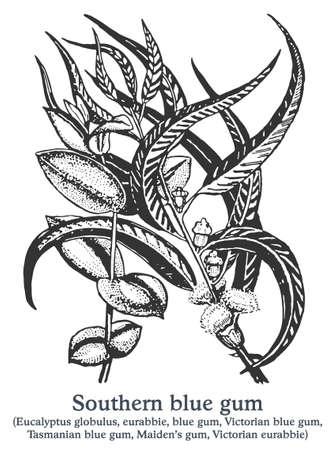 Southern blue gum. Vector hand drawn plant. Vintage medicinal plant sketch.