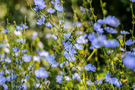 sultry: Blooming wildflowers chicory