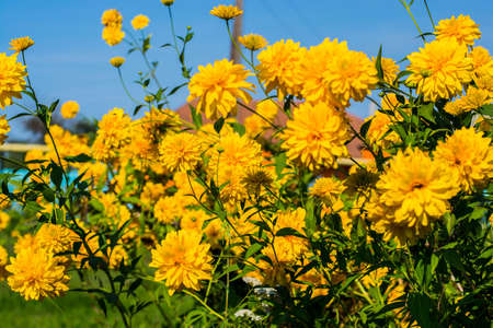 grandeur: Rudbeckia bush bloomed in all its grandeur in the summer afternoon Stock Photo