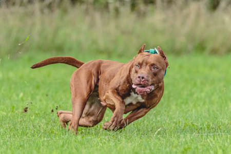 American Pit Bull Terrier running in the field