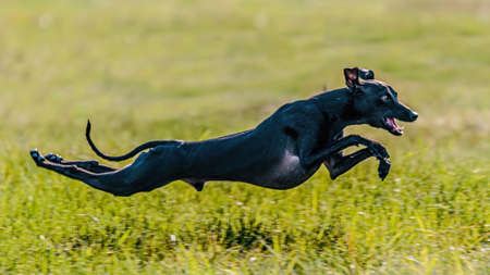Flying moment of Italian Greyhound in the field on lure coursing competition