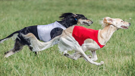 Two saluki in red and white shirts running in the field on lure coursing competition