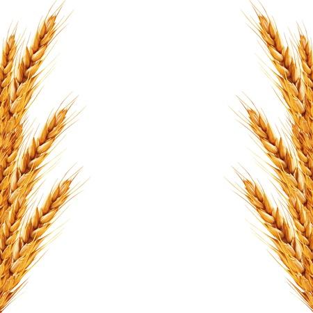 cosecha de trigo: fondo blanco con espigas de trigo en �l