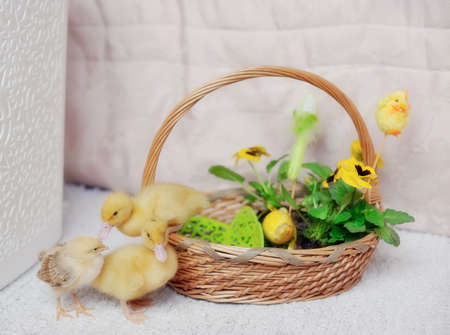 in a basket yellow ducklings and chickens photo