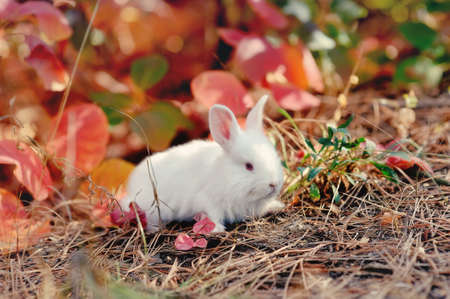 the white rabbit sits on red leaves Stock Photo