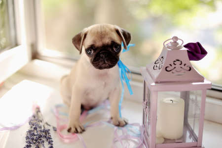 at a window a puppy of a pug with a candlestick photo