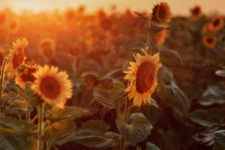 puesta de sol sobre un campo de girasoles photo