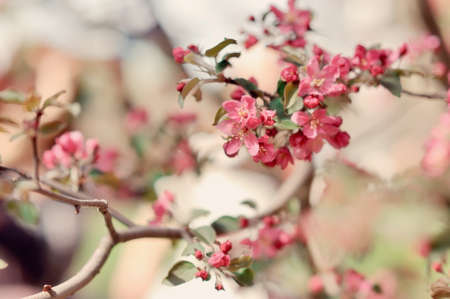 branches of a blossoming fruit tree photo