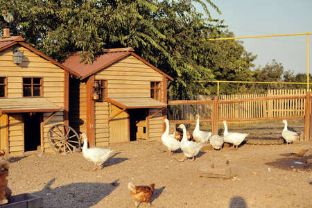 on a rural farm with wooden houses white geese walk photo