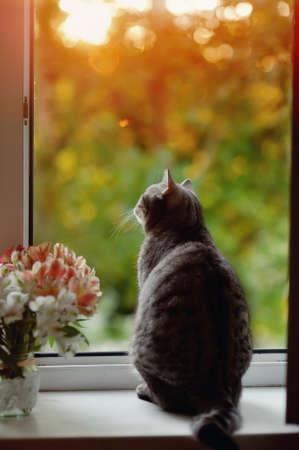gato gris: gato sentado en el alf�izar de la ventana en las flores en el fondo de la ventana