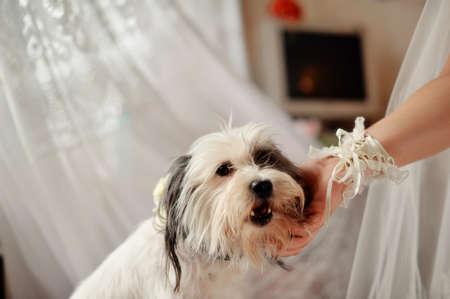 woman dog: perro blanco, peludo acariciando la mano de una mujer s Foto de archivo