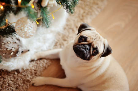 Under a New Year s beautiful fur-tree the dog of breed a pug and a toy hedgehog lies photo