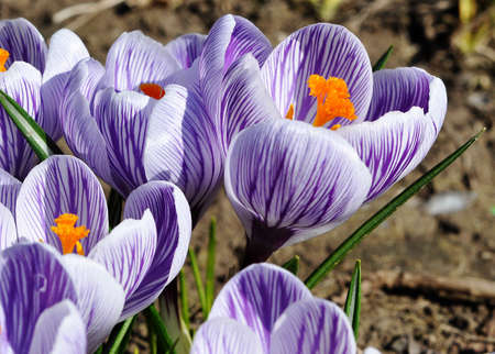 beautiful bouquet of purple tulips bloomed in an outdoor Stock Photo - 17494535