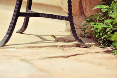 eyes cave: The small lizard creeps between chair legs Stock Photo