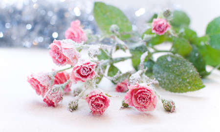 the white snow is a bouquet of pink roses in frost