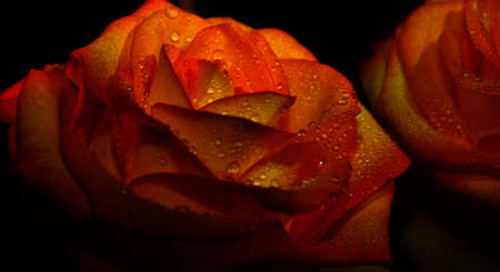 on a black background bud orange rose with dew drops Stock Photo - 17780127