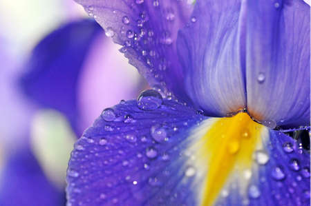 close-up of a large blue iris flower with dew drops