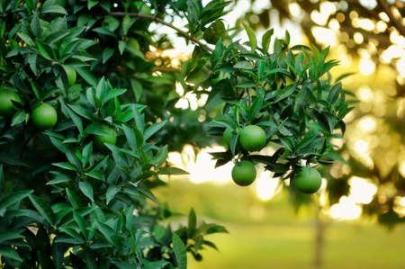 garden grow green lemons on the tree