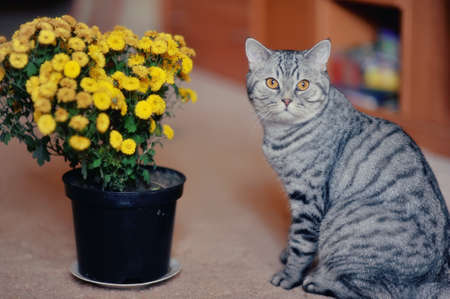 posing beautiful cat and a bunch of field of yellow flowers in a pot