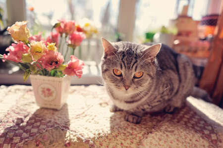 against the window with beautiful flowers is a big gray cat with yellow eyes photo