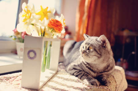against the window with beautiful flowers is a big gray cat with yellow eyes Stock fotó - 19120271