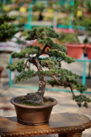 bonsai tree: Chinese decorative bonsai tree in a beautiful pot Stock Photo