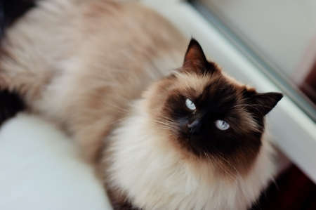 ritzy: on the window sill is a beautiful cat with a white wool , a black muzzle and black legs