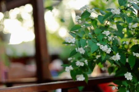 jasmine bush: in the foreground branches blooming jasmine bush with white flowers