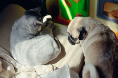 dog breed pug and a British cat basking in the sun photo