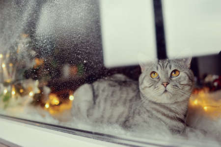 window with a winter pattern and lights sitting cat British breed