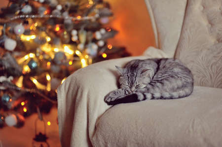 British breed cat sleeps near a Christmas tree Stock fotó